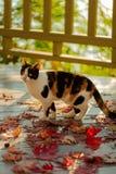 在大阳台的滑稽的猫坐红槭在灰色离开求爱 库存照片
