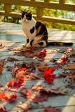 在大阳台的滑稽的猫坐红槭在灰色离开求爱 免版税库存图片