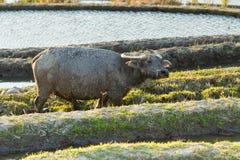在大阳台的米领域的亚洲水牛 免版税库存照片