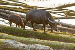 在大阳台的米领域的亚洲水牛 免版税图库摄影