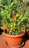在大阳台的豪华的西红柿在一个生态都市庭院里 免版税图库摄影