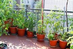 在大阳台的豪华的西红柿在一个生态都市庭院里 库存照片