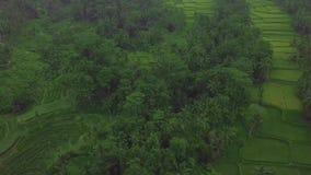 在大阳台空中风景的绿色稻田 寄生虫视图增长的米种植园在巴厘岛,印度尼西亚 农业和 股票视频