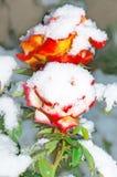 玫瑰在冬天 免版税库存照片