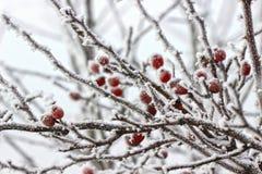 在大雪和冰下的山楂树莓果 免版税库存照片