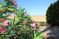 在大麦的红色和桃红色花在日落 免版税库存图片