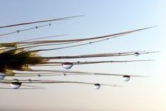 在大麦的耳朵的雨下落 图库摄影