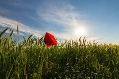 在大麦的领域的狂放的红色偏僻的鸦片花在夏天 免版税库存图片