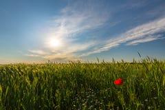 在大麦的领域的狂放的红色偏僻的鸦片花在夏天 免版税图库摄影
