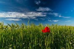在大麦的领域的狂放的红色偏僻的鸦片花在夏天 库存照片