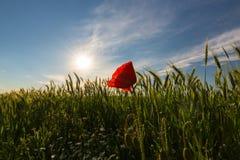在大麦的领域的狂放的红色偏僻的鸦片花在夏天 图库摄影