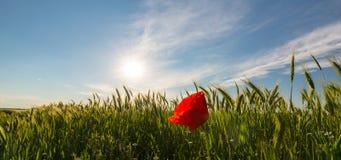 在大麦的领域的狂放的红色偏僻的鸦片花在夏天 免版税库存照片