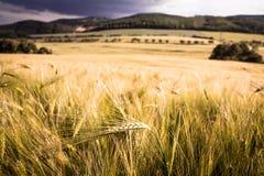 在大麦领域中间的唯一大麦耳朵 免版税库存图片