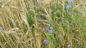 在大麦领域特写镜头的矢车菊 库存照片
