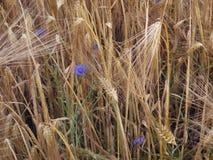 在大麦领域特写镜头的矢车菊 库存图片