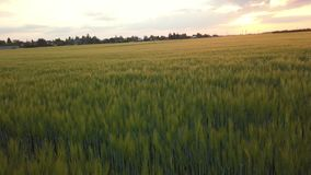 在大麦领域的日落