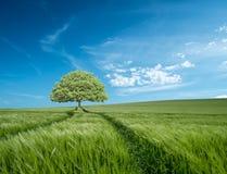 在大麦领域的树在多西特,有蓝天和云彩的英国 库存图片