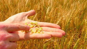 在大麦领域的男性手 在现有量的谷物 拿着大麦五谷的人手 农夫检查小尖峰和五谷的质量 股票录像
