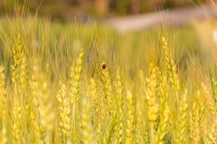 在大麦领域的金甲虫 库存照片