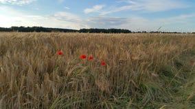 在大麦领域的鸦片 库存照片