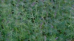 在大麻上面的紫罗兰色开花在风钩编编织物 大麻领域在开花的期间 从的录影射击 股票视频