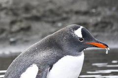 在大水坑的Gentoo企鹅-浇灌从橙色额嘴的水滴 库存照片