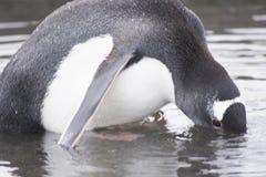 在大水坑-部分地被淹没的头的Gentoo企鹅 免版税库存图片