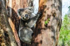 在大洋路,澳大利亚的考拉 库存照片