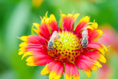在天人菊属植物的蜂 图库摄影
