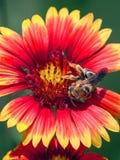 在天人菊属植物Pulchella的土蜂 免版税库存照片