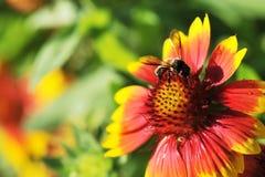 在天人菊属植物pulchella Foug,天人菊的蜜蜂 免版税库存图片