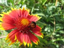 在天人菊的土蜂 免版税库存图片