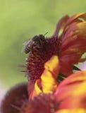 在天人菊的蜂蜜蜂 免版税库存照片