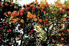 在天光的橙树 图库摄影