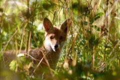 在天光的Fox portret 免版税库存图片