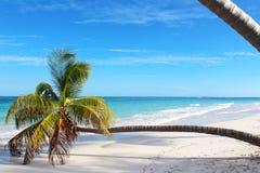 在天堂海滩的懒惰棕榈 库存图片