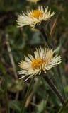 在天山山,阿尔玛蒂的开花的黄色野生延命菊, 免版税库存图片