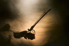 在天日出的天蓝色的蜻蜓 库存照片