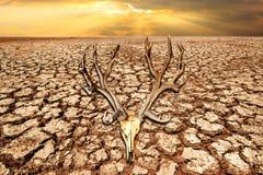 在天旱土地的鹿头骨和在日出的破裂的地球与cli 免版税库存图片