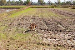 在天旱期间的米领域 免版税库存图片