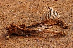 在天旱的动物尸体 免版税图库摄影