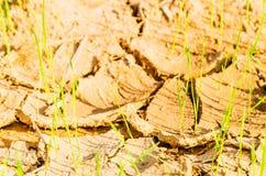 在天旱领域的米 免版税图库摄影