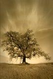 在天气之下的公平的橡木天空结构树 库存照片