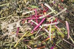 在天然肥料堆的食用大黄词根 免版税库存图片