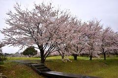 在天狮瓷公园,英雄传奇肯,日本附近的佐仓树 免版税图库摄影