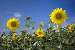 在天空向日葵的蓝色域 图库摄影