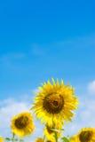 在天空向日葵的蓝色域 免版税库存照片