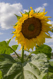 在天空向日葵的蓝色多云域 向日葵,开花的向日葵,向日葵领域 库存图片