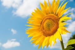 在天空向日葵的蓝色 免版税库存图片