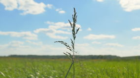 在天空和绿色领域背景的一个草本 股票视频